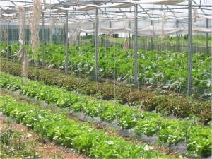 Impianto di zucchine e insalate in serra.