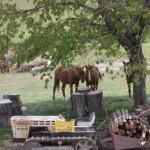 cavalli e legna