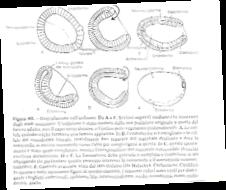 embrione-fasi
