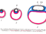 embrione-genesi