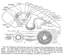 embrione-organi